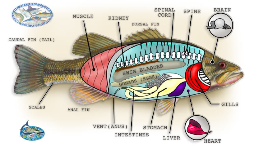 The complete science guide fish digestive system diagram diet and digestive system anglerfishywishy ccuart Gallery