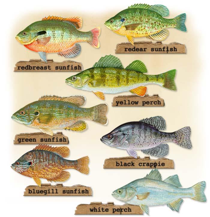 panfish guide