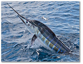 Caribbean Billfish Management Plan