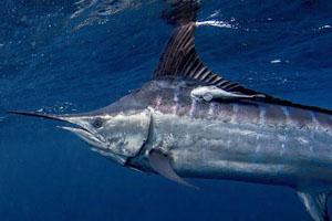 billfish conservation act