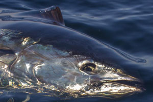 Conservation Measures for Atlantic Bluefin Tuna