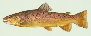 an image of a brown trout