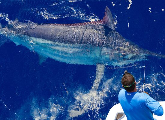 Black Marlin Fishing on the Great Barrier Reef