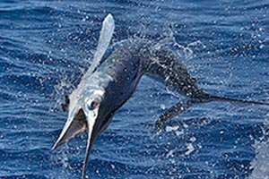 new measure for conservation of blue marlin