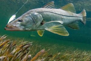 aquatic preserve snook