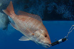 Gulf Reef Fish Conservation