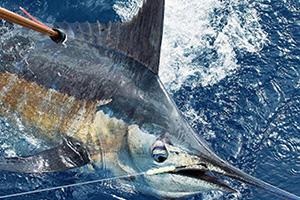 satellite tagging of billfish in Bermuda