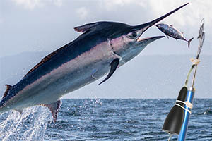 Support Billfish Research